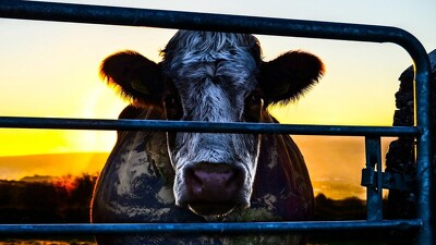 Cowspiracy: The Sustainability Secret Trailer