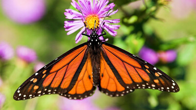 The Incredible Journey of the Monarch Butterfly Trailer