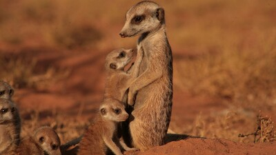 The Meerkats Trailer